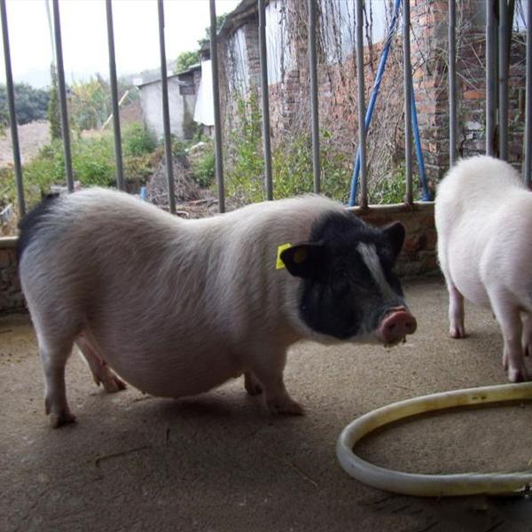 巴马香猪养殖基地