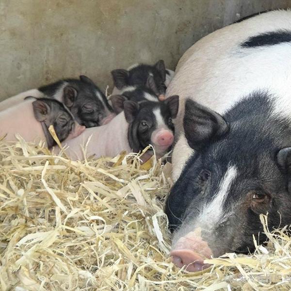 巴马香猪养殖