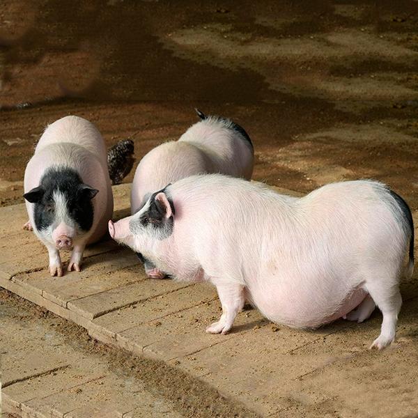 巴马香猪养殖厂