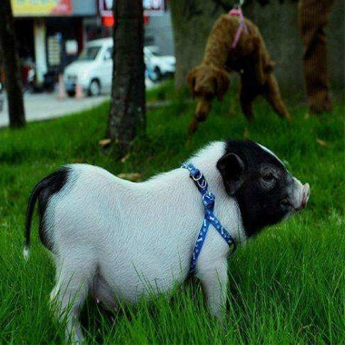 巴马香猪宠物猪