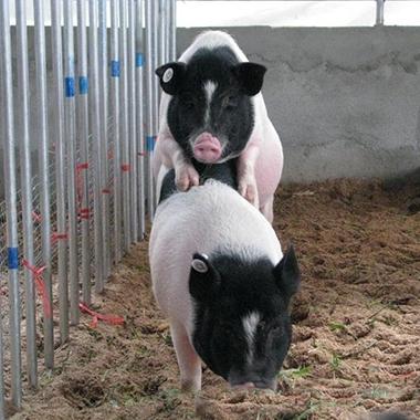 巴马香猪种猪公猪