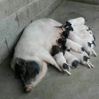 巴马香猪母猪