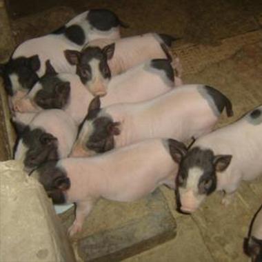巴马香猪猪苗