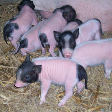 巴马香猪小猪