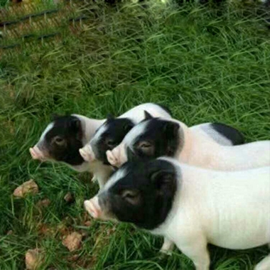黑龙江巴马香猪种苗猪