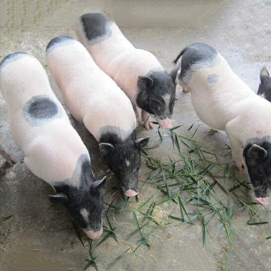 黑龙江巴马香猪种猪