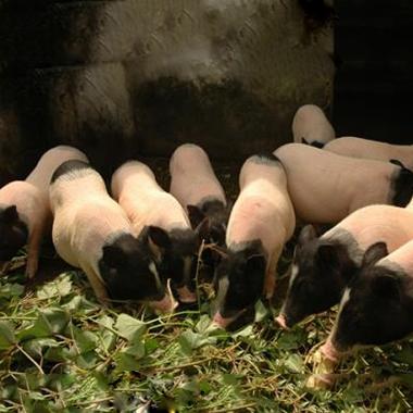 巴马香猪种猪苗