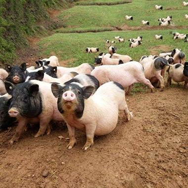 黑龙江巴马香猪
