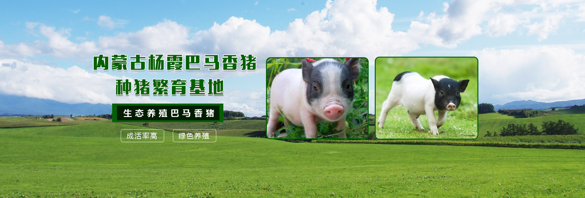纯种巴马香猪